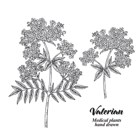 Hand drawn Valerian with leaves and flowers isolated on white background. Medical herbs. Vector illustration engraved. 矢量图像