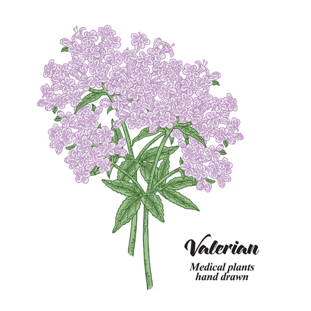 Hand drawn Valerian plant isolated on white background. Medical herbs. Colored vector illustration.