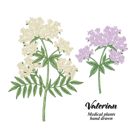Hand drawn Valerian branches isolated on white background. Medical herbs. Colored vector illustration. 矢量图像