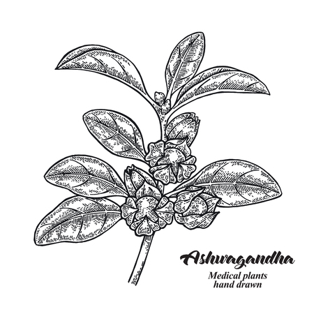 Hand drawn Ashwagandha. Medical plant Isolated on white background. Vector illustration engraved. 免版税图像 - 121947993