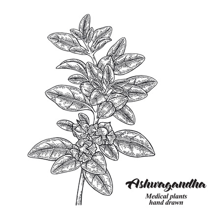 Hand drawn Ashwagandha. Medical plant Isolated on white background. Vector illustration engraved. 免版税图像 - 121947994