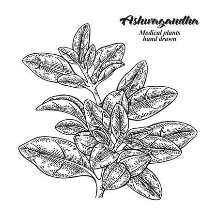 Hand drawn Ashwagandha. Medical plant Isolated on white background. Vector illustration engraved. 免版税图像 - 121947995