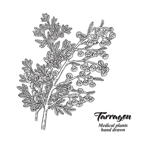 Hand drawn tarragon or absinthe plant isolated on white background. Medical hebs. Vector illustration engraved.