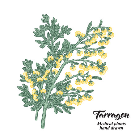 Hand drawn tarragon or absinthe plant isolated on white background. Medical hebs. Vector color illustration.