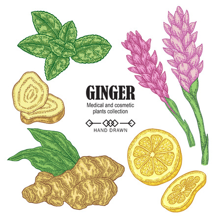 Ginger plant set. Hand drawn ginger root, flowers, mint leaves an lemon isolated on white background. Vector illustration. Medical and cosmetic plant collection. 免版税图像 - 111409793