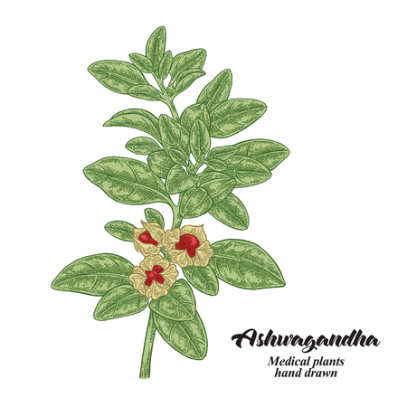 Hand drawn Ashwagandha isolated on white background. Medicinal plant. Vector color illustration. 矢量图像