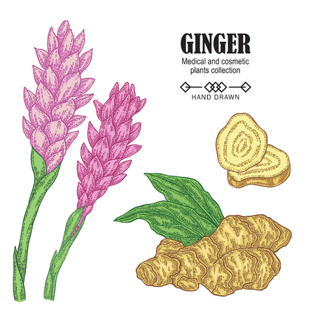 Ginger plant set. Hand drawn ginger root and flowers isolated on white background. Vector illustration. Medical and cosmetic plant collection. 矢量图像