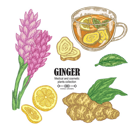 Ginger plant set. Hand drawn ginger root, flowers and cup of herbal tea isolated on white background. Vector illustration. Medical and cosmetic plant. 免版税图像 - 112754163