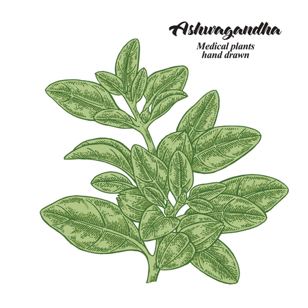 Hand drawn Ashwagandha isolated on white background. Medicinal plant. Vector color illustration. 免版税图像 - 111412072