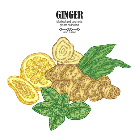 Ginger plant set. Hand drawn composition with ginger root, flowers, mint leaves and lemon tea isolated on white background. Vector illustration. Medical and cosmetic plants. 免版税图像 - 112754164