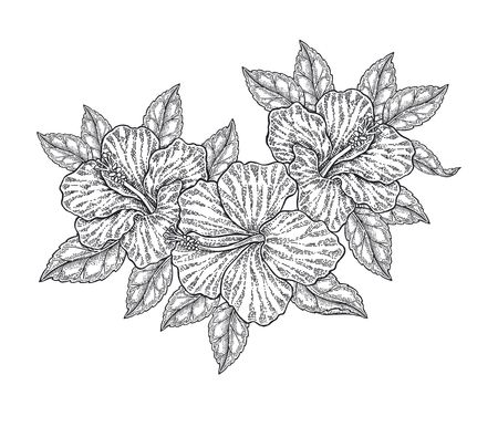 Hibiscus flowers and leaves isolated on white. Hand drawn botanical vector illustration engraved. Floral composition.