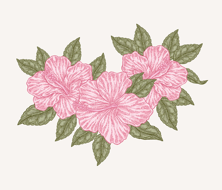 Pink hibiscus flowers and leaves. Hand drawn botanical vector illustration engraved. Floral composition.