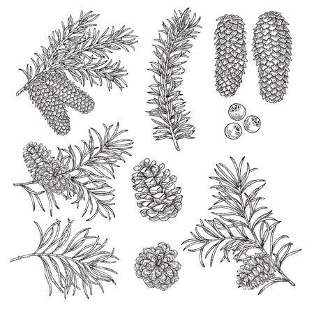 Hand drawn pine, fir cones, branches,winter berries. Vector illustration engraved. Design elements for Christmas greeting cards and packaging.