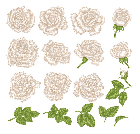White roses vector illustration. Hand drawn flowers and leaves. Floral design elements. 免版税图像 - 121948022