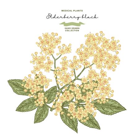 Elderflower branch isolated on white background. Hand drawn elder or sambucus with flowers and leaves. Vector illustration vintage. 免版税图像 - 121948038