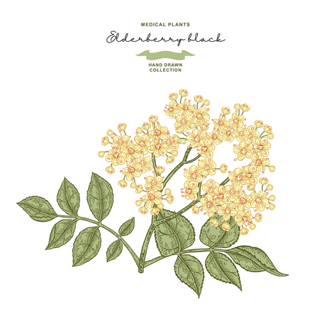 Elderflower branch isolated on white background. Hand drawn elder or sambucus with flowers and leaves. Vector illustration vintage. 矢量图像