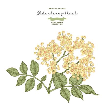 Ramo di fiori di sambuco isolato su sfondo bianco. Sambuco o sambucus disegnato a mano con fiori e foglie. Annata di illustrazione vettoriale.
