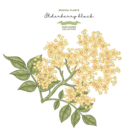 Elderflower branch isolated on white background. Hand drawn elder or sambucus with flowers and leaves. Vector illustration vintage. 免版税图像 - 121948041