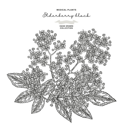 Elderflower branch isolated on white background. Hand drawn elder or sambucus with flowers and leaves. Vector illustration engraved. 免版税图像 - 121948045