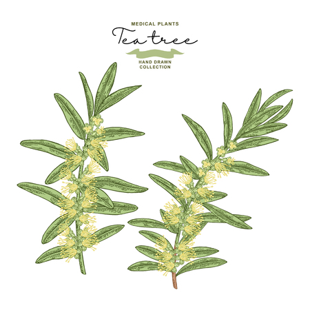 Hand drawn tea tree branches with flowers isolated on white background. Melaleuca plant. Vector botanical illustration. 免版税图像 - 117746232