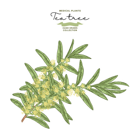 Hand drawn tea tree branches with flowers isolated on white background. Melaleuca plant. Vector botanical illustration. 矢量图像