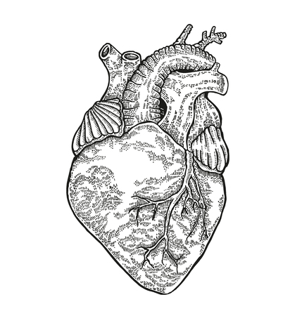 Human heart on white background. Vector illustration engraved. 矢量图像