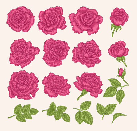 Collection of pink roses. Flowers, leaves and buds vector illustration. Hand drawn. Floral design elements.