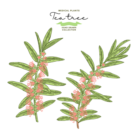 Hand drawn tea tree branches with flowers isolated on white background. Melaleuca plant. Vector botanical illustration. 免版税图像 - 117746236