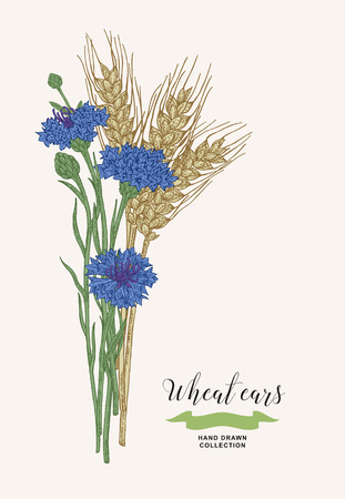 Wheat ears with cornflowers. Rustic bouquet plants of fields. Hand drawn vector illustration. 矢量图像