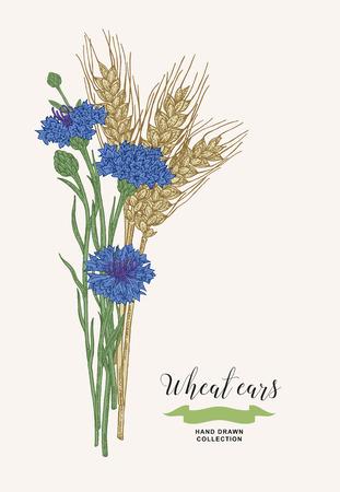 Wheat ears with cornflowers. Rustic bouquet plants of fields. Hand drawn vector illustration. 免版税图像 - 120562675