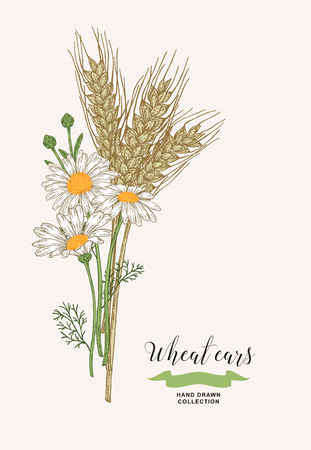 Wheat ears with chamomiles. Rustic bouquet plants of fields. Hand drawn vector illustration.