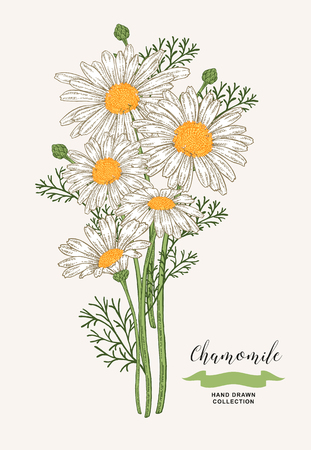 Chamomile flowers. Rustic bouquet design. Hand drawn vector illustration. 矢量图像
