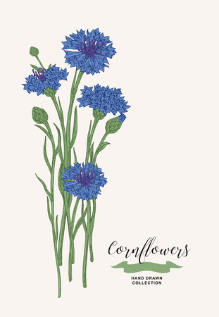 Cornflowers bouquet. Wild flowers set. Rustic design. Hand drawn vector illustration.