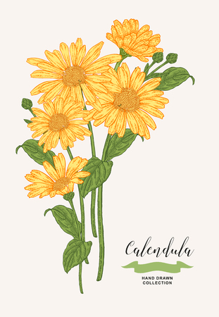 Calendula flowers and leaves. Medical plants set. Hand drawn vector illustration. 免版税图像 - 120562680