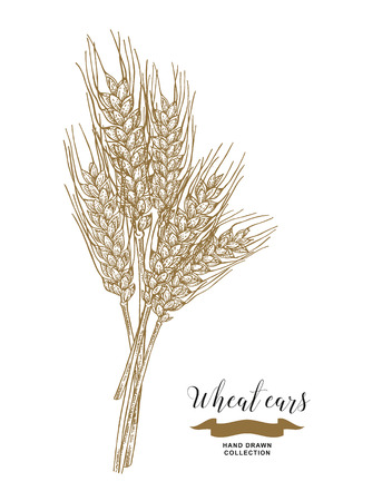 Wheat ears. Rustic bouquet design. Hand drawn vector illustration. 免版税图像 - 120562686