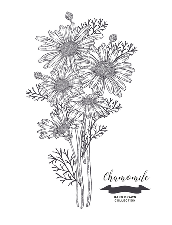 Chamomile flowers. Rustic bouquet design. Medical herbs set. Vector illustration. 矢量图像