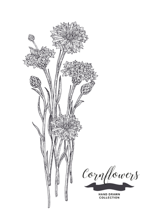 Cornflowers sketch. Rustic bouquet design. Medical herbs set. Vector illustration.
