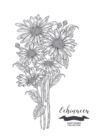 Echinacea flowers and leaves. Medical plants set. Hand drawn vector illustration.