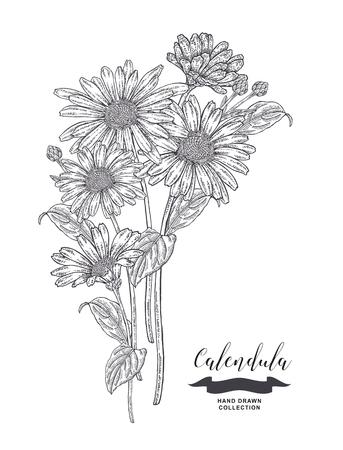 Calendula flowers and leaves. Medical plants set. Hand drawn vector illustration. 免版税图像 - 121948056