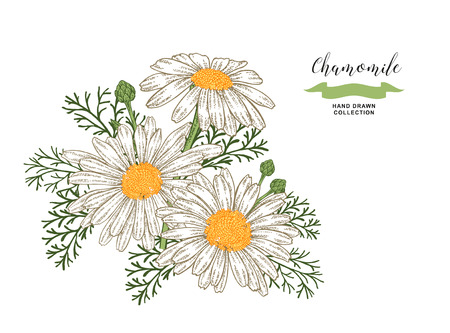 Chamomile flowers and leaves. Floral composition. Medical herbs set. Hand drawn vector illustration. 免版税图像 - 120562689