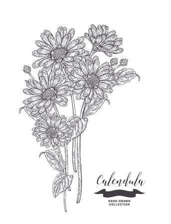Calendula flowers and leaves. Medical plants set. Hand drawn vector illustration.