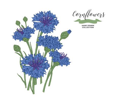 Cornflowers bouquet. Floral composition. Medical herbs set. Hand drawn vector illustration. 免版税图像 - 120562690