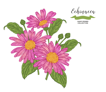 Echinacea  flowers and leaves. Floral composition. Medical herbs set. Hand drawn vector illustration. 免版税图像 - 120562687