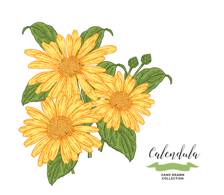 Calendula flowers and leaves. Floral composition. Medical herbs set. Hand drawn vector illustration.