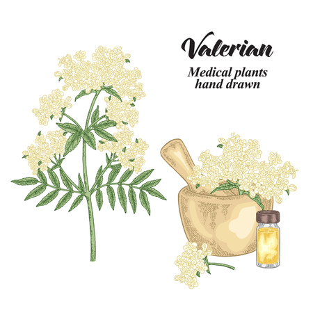 Valerian flowers and leaves isolated on white background. Medical herbs set. Vector illustration hand drawn. 免版税图像 - 121948059