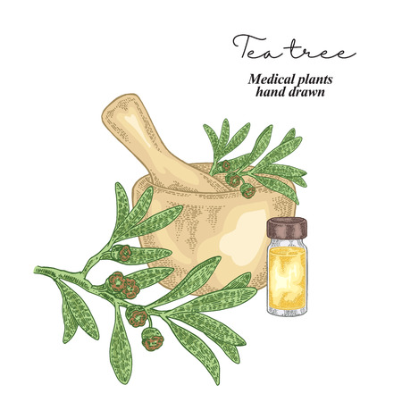 Tea tree flowers and leaves isolated on white background. Medical herbs set. Vector illustration hand drawn.