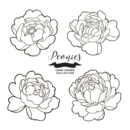 Peony flowers outlines. Hand drawn flowers isolated on white background. Floral elements vector illustration.