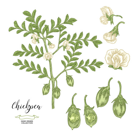 Chickpea plant isolated on white background. Chickpea flowers, pods and seeds collection. Hand drawn legumes. Vector illustration.