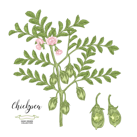 Chickpea plant isolated on white background. Chickpea flowers, pods and seeds collection. Hand drawn legumes. Vector illustration. 免版税图像 - 126158900