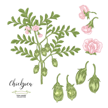 Chickpea plant isolated on white background. Chickpea flowers, pods and seeds collection. Hand drawn legumes. Vector illustration. Ilustração
